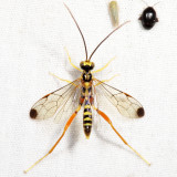Spilopteron occiputale (male)