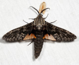2693 - Carpenterworm Moth - Prionoxystus robiniae (male)