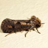 0373 - Clemens' Grass Tubeworm Moth - Acrolophus popeanella 7.16.11