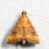 5051 - Variable Reddish Pyrausta - Pyrausta rubricalis 7.16.15