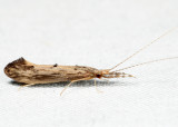 Triaenodes ignitus?