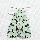 9281- Green Marvel - Acronicta fallax