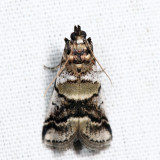 5651 - Leaf Crumpler Moth - Acrobasis indigenella 7.18.2