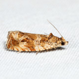 2778 - Olivaceous Olethreutes - Olethreutes olivaceana 7.19.3
