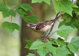 Rose-breasted Grosbeak - Pheucticus ludovicianus (female)