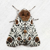 9286 - Harris' Three-spot - Harrisimemna trisignata