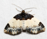 7307 - White-ribboned Carpet - Mesoleuca ruficillata
