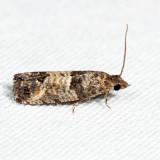 2906 – Eye-spotted Bud Moth – Spilonota ocellana 7.21.5