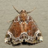 8445 - White-lined Hypena - Hypena abalienalis