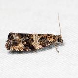 2847 - Olethreutes glaciana 7.22.1