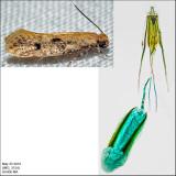 0412 - Niditinea orleansella IMG_3134.jpg