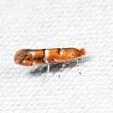 0808 - Cameraria australisella 7.24.3