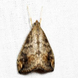 4898 - Cross-striped Cabbageworm Moth - Evergestis rimosalis 7.24.14