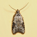 2315 - Currant Fruitworm Moth - Carposina fernaldana