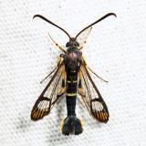 2549 - Dogwood Borer - Synanthedon scitula