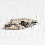 3334 - Maple Trumpet Skeletonizer - Catastega aceriella