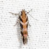 1761 - Garden Webworm Moth - Aristotelia roseosuffusella