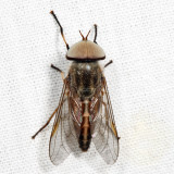 Striped Horse Fly - Tabanus lineola