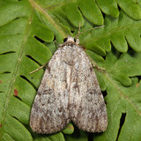 8846 – Sordid Underwing – Catocala sordida