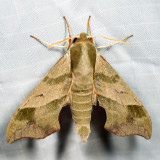 7885 - Virginia Creeper Sphinx - Darapsa myron
