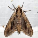 7786 - Elm Sphinx - Ceratomia amyntor