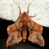 7825 - Small-eyed Sphinx - Paonias myops