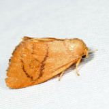 4654 – Abbreviated Button Slug Moth – Tortricidia flexuosa