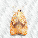 3501 - Maple Leaftier  Acleris forsskaleana