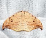 6251 - Arched Hooktip - Drepana arcuata