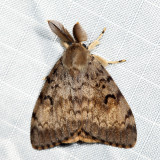 8318 - Gypsy Moth - Lymantria dispar