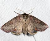 6237 - Tufted Thyatirid - Pseudothyatira cymatophoroides