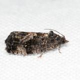 3495 – Dotted Ecdytolopha – Gymnandrosoma punctidiscanum