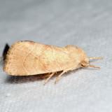 9815 - American Dun-bar Moth - Cosmia calami