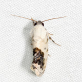 9095 - Small Bird-dropping Moth - Ponometia erastrioides