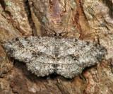 6620 - Canadian Melanolophia - Melanolophia canadaria