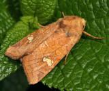 9457 - American Ear Moth - Amphipoea americana