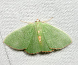 7046 – Red-fringed Emerald – Nemoria bistriaria