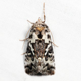 8942 - Salt and Pepper Looper - Syngrapha rectangula