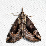 8442 – Baltimore Hypena - Hypena baltimoralis