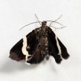 7430 - White-striped Black Moth - Trichodezia albovittata