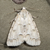 9207 - Unmarked Dagger - Acronicta innotata