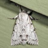 9205 - Cottonwood Dagger - Acronicta lepusculina