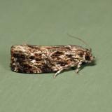 2771 – Macramé Moth – Phaecasiophora confixana