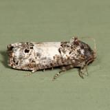 3192 - Gray-blotched Epiblema - Epiblema carolinana