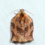 3658 - Omnivorous Leafroller - Archips purpuran