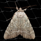 8781 - Judith's Underwing - Catocala judith