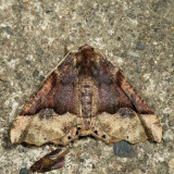 6755 – Morrison's Pero Moth – Pero morrisonaria