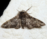 6640 - Pepper & Salt Geometer - Biston betularia