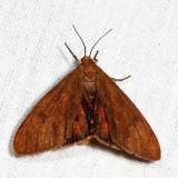 8118 - Tawny Holomelina - Virbia opella