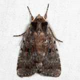 10968 – Northern Variable Dart – Xestia badicollis